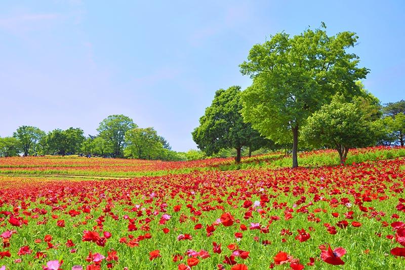 國營昭和紀念公園的罌粟花