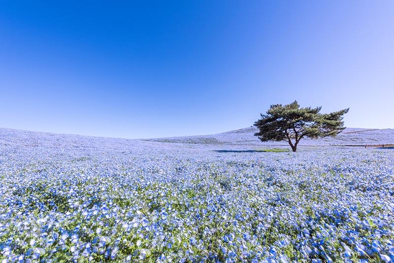 國營常陸海濱公園的粉蝶花