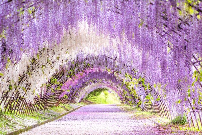 河內藤園的紫藤隧道