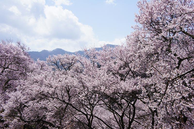 信州的櫻花