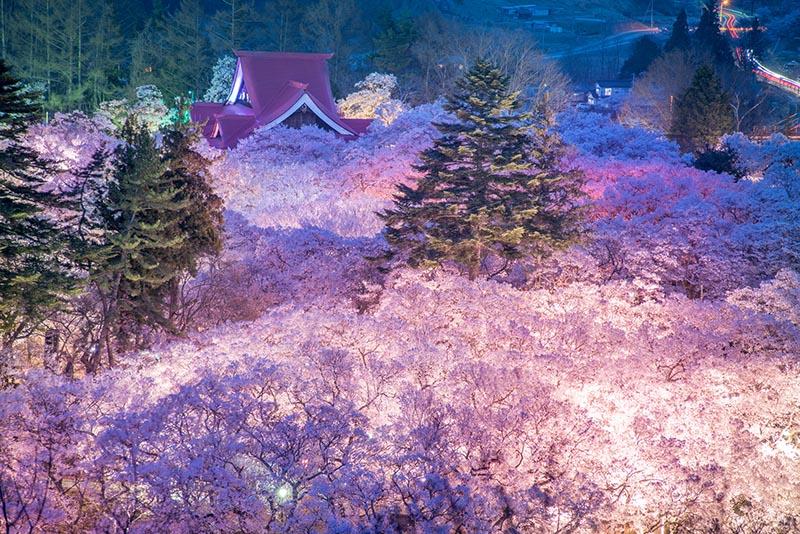 高遠城址公園的櫻花