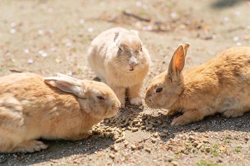 大久野島上的兔子