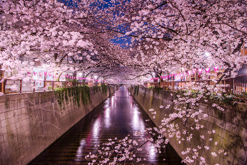 目黑川的櫻花