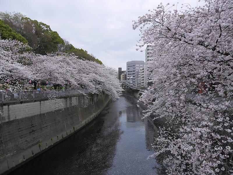 江戶川公園中盛開的櫻花