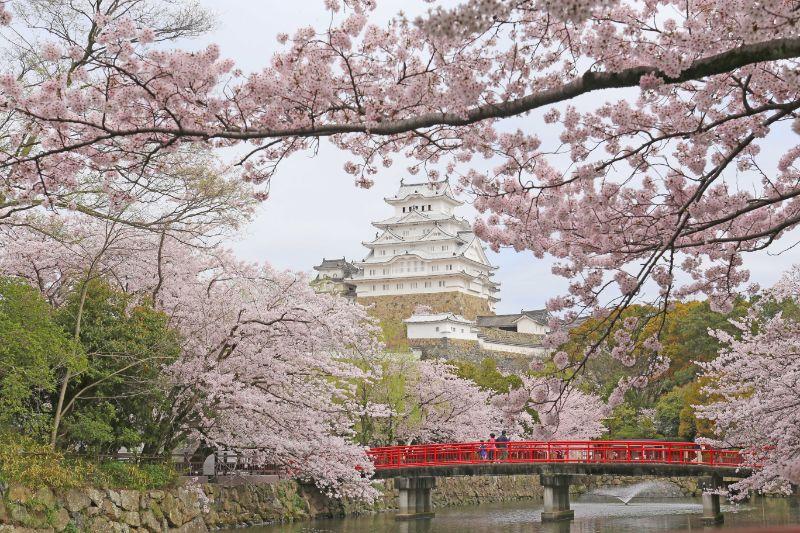 春天的姬路城與櫻花