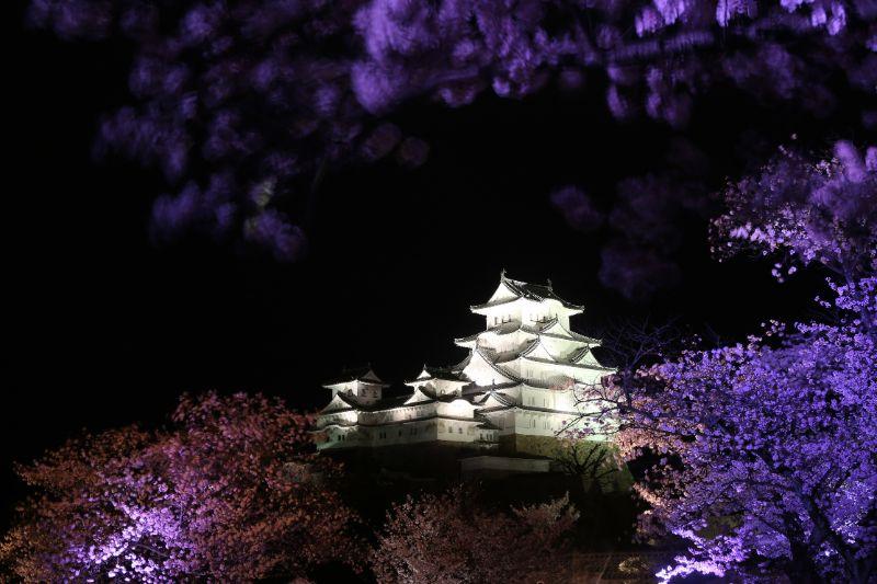 春天姬路城的夜櫻