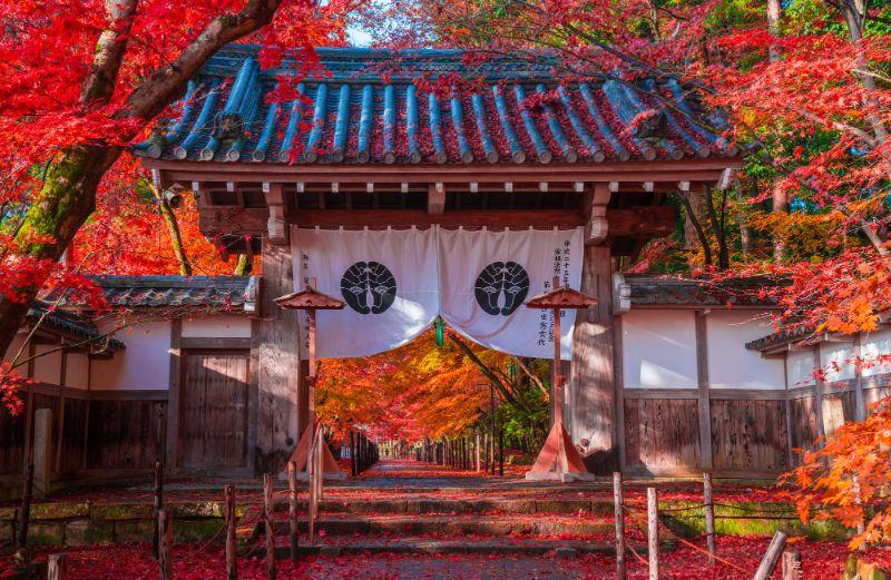 秋天京都光明寺的楓葉