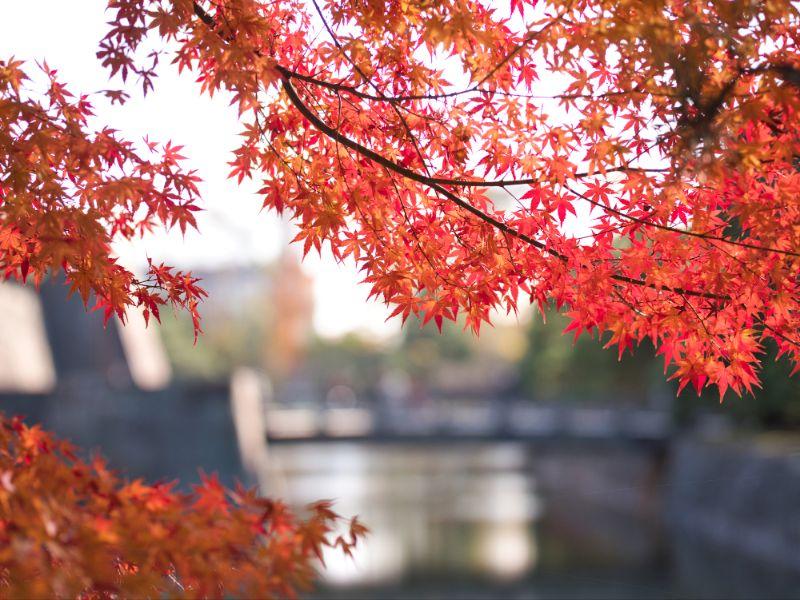 京都二條城的楓葉