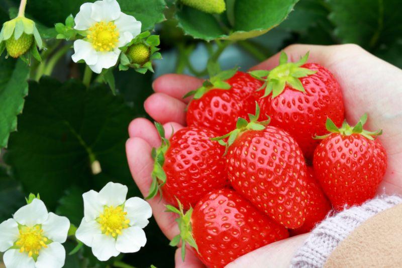 採草莓體驗