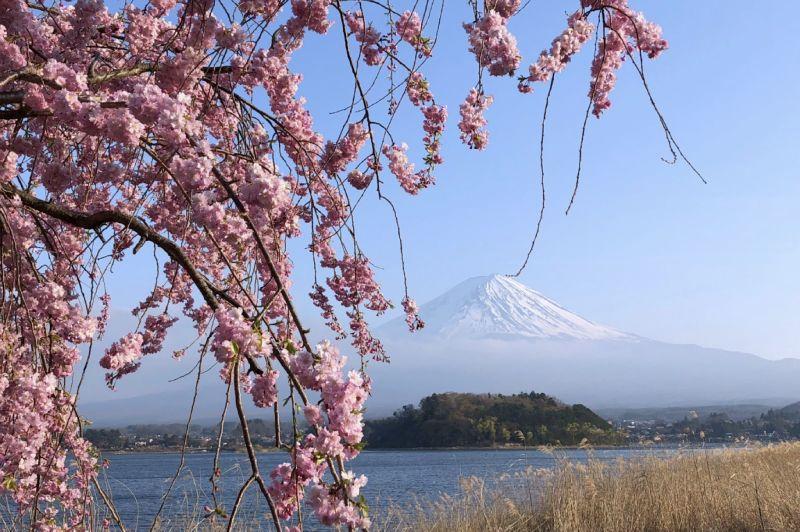 富士山河口湖富士大石花園平台櫻花