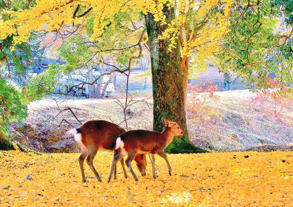 奈良公園內的鹿