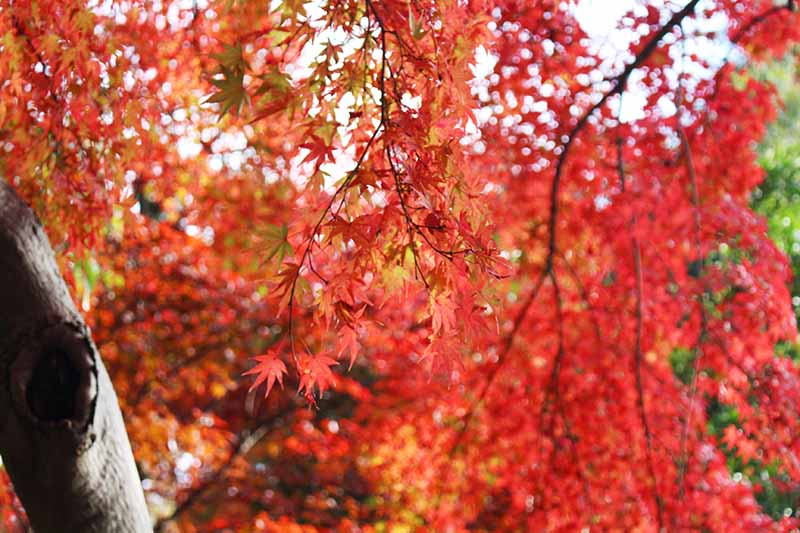 深大寺的紅葉