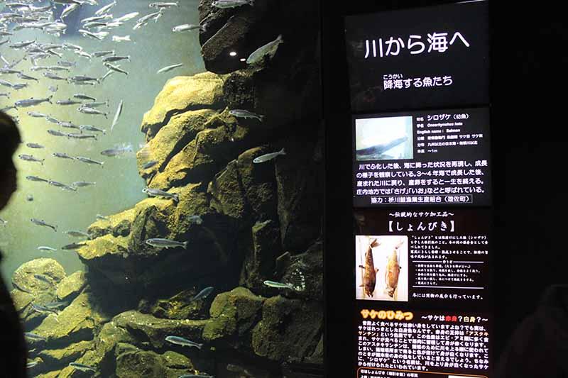 鶴岡市立加茂水族館的展示