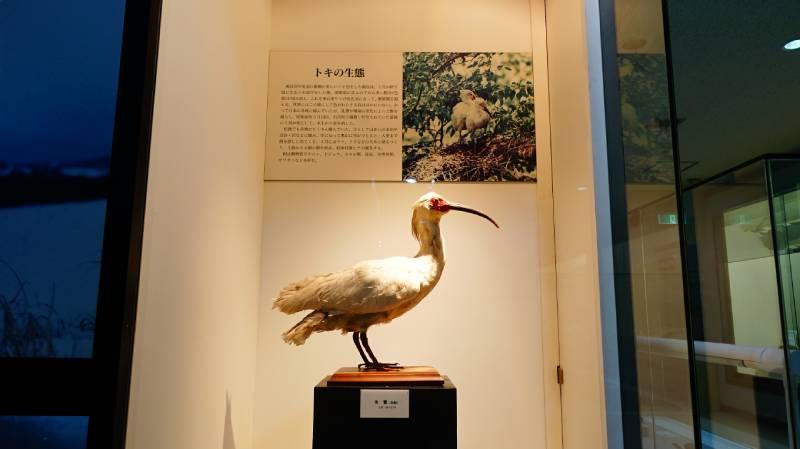 佐渡博物館內朱鷺標本展示