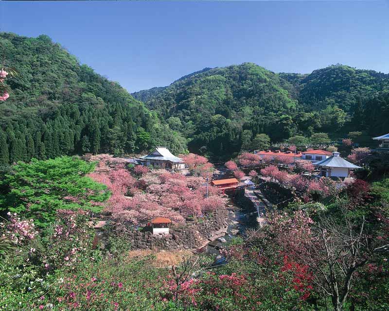 一心寺的櫻花