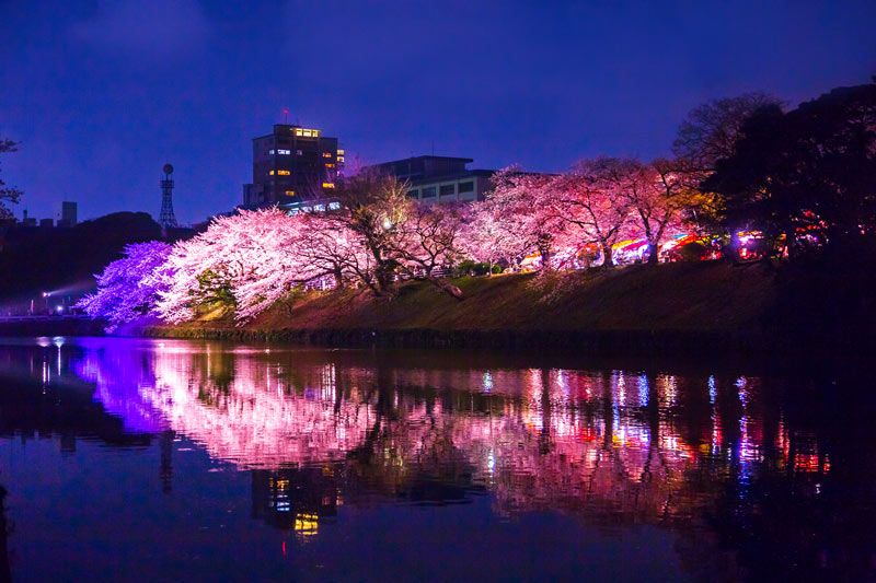 舞鶴公園晚上的櫻花