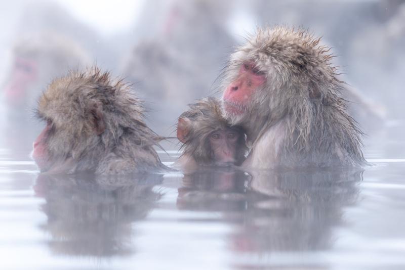 地獄谷野猿公苑的雪猴